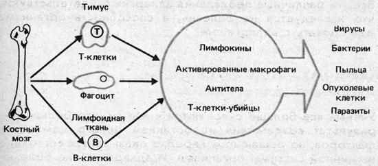 Упрощенная схема иммунной