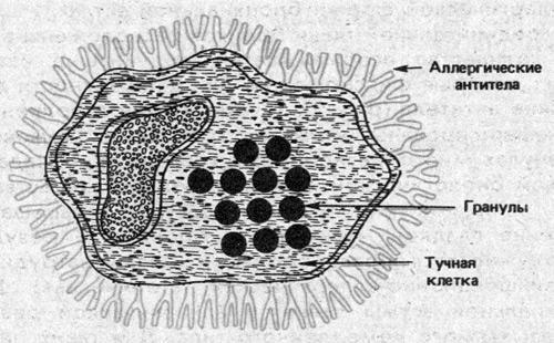 Тучная клетка в аллергической
