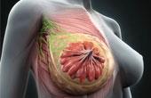 Строение тканей женской груди